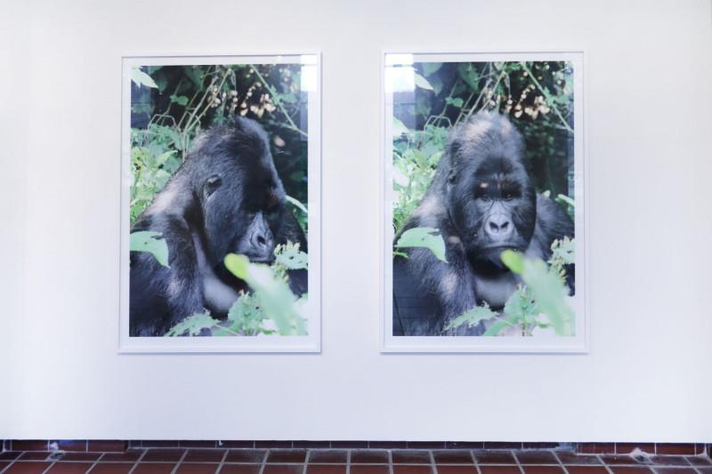 Zwei nebeneinanderhängende Fotografien eines Gorillas an der Wand.